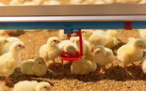 Pasza dla drobiu – zasady poprawnego zywienia kur